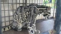 Macan dahan. (Riauonline.co.id)