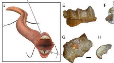 Fosil menunjukkan gigi lungfish (salamanderfis atau ikan lempung) kuno. (American Museum of Natural History)