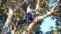 Foto: Fransiskus Sensus warga Dusun Glak panjat pohon mangga cari sinyal untuk menelepon keluarganya di kota (Liputan6.com/Dion)