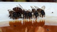 Ilustrasi – Lebah, salah satu hewan yang disebut dalam Al Quran. (Liputan6.com/Muhamad Ridlo)