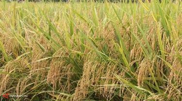merang-padi-131213b.jpg