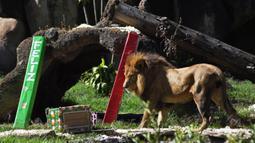 Seekor singa bernama Guapo melihat hadiah yang dibawa pengunjung sebagai bagian dari tradisi Natal di La Aurora Zoo, Guatemala City pada Kamis (19/12/2019). Hari Natal yang jatuh pada 25 Desember membuat sejumlah kebun binatang turut merayakannya dengan cara yang unik. (Orlando  ESTRADA/AFP)