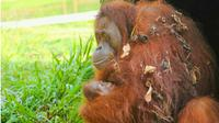 Bayi Orangutan mungil lahir di Taman Safari Lagoi. (Liputan6.com/M Syukur)