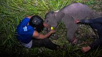 Petugas medis Balai Besar Konservasi Sumber Daya Alam (BBKSDA) Provinsi Riau merawat seekor anak gajah sumatera liar yang terluka di Siak, Riau, Rabu (16/10/2019). Gajah sumatera jantan berumur setahun itu terluka di kaki akibat jerat pemburu sehingga tertinggal dari kawanannya. (WAHYUDIE/AFP)