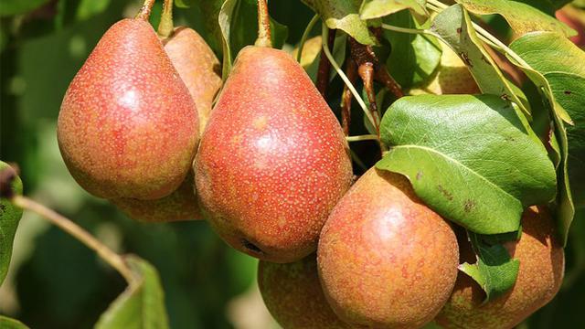 083745400 1541068113 pearcov - Macam Macam Jenis Buah Pear