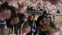 Wisatawan menikmati pemandangan bunga sakura yang bermekaran di sekitar Tidal Basin, Washington, DC, Senin (1/4). Bunga sakura ini merupakan pemberikan Wali Kota Tokyo pada tahun 1912 yang merupakan hadiah sebagai bentuk persahabatan kedua negara. (Photo by MANDEL NGAN / AFP)