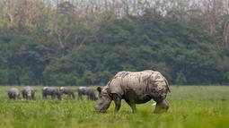 Seekor badak bercula satu bertanduk di sebuah ladang di cagar alam Pobitora, sekitar 60 kilometer di sebelah timur Gauhati, India, (23/5). Tempat ini memiliki populasi padat badak bercula satu di dunia. (AP Photo/Anupam Nath)