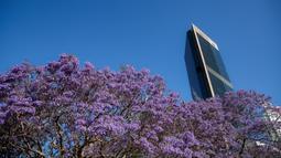 Bunga jacaranda yang bermekaran terlihat di Sydney, Australia (22/10/2020). Jacaranda adalah genus dari 49 spesies tanaman berbunga dalam keluarga Bignoniaceae, asli daerah tropis dan subtropis dari Amerika Tengah, Amerika Selatan, Kuba, Hispaniola dan Bahama.  (Xinhua/Bai Xuefei)