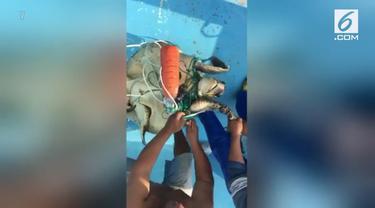 Penyu laut ini terus meronta sebelum akhirnya para nelayan di Ekuador menyelamatkannya dari jerat jaring ikan.