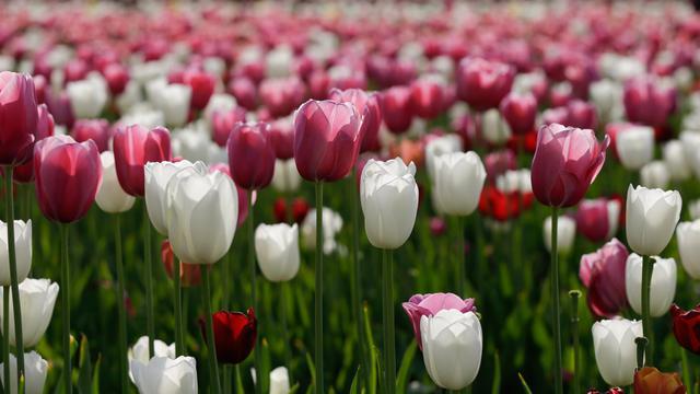 Bunga Tulip Merekah di Kota Milan
