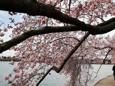 Sepasang wanita dan pria berjalan di bawah pohon Sakura yang sedang mekar di Washington (4/2). Keindahan pohon Sakura yang sedang mekar ini menandai  dimulainya musim semi di Washington. (AP Photo/Jacquelyn Martin)