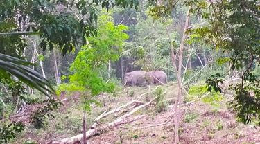 Kawanan gajah yang terpantau di hutan oleh BBKSDA Riau.