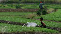Seorang bocah menyiram tanaman di area belakang Bandara Soekarno-Hatta, Tangerang, Jumat (6/1). Warga mengaku hasil tani tersebut selain untuk dikonsumsi sendiri juga untuk dijual. (Liputan6.com/Angga Yuniar)