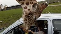 Seekor jerapah yang mencoba memasukkan kepalanya dalam mobil pengunjung membuat kaca jendela pecah (Capture/MoMedia)
