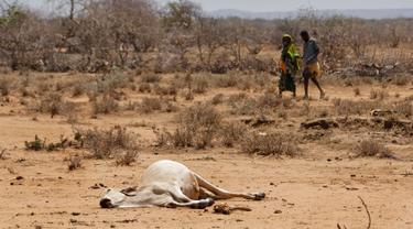 Seekor sapi tergeletak di Bandarero, Kenya, Jumat (3/3). Kenya kini tengah menghadapi kekeringan parah dan krisis pangan. (AP Photo / Ben Curtis)