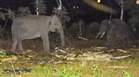Upaya pemancingan gajah liar dengan gajah latih dari BBKSDA Riau untuk dievakuasi. (Liputan6.com/M Syukur)