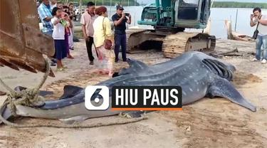 Seekor hiu paus ditemukan mati mengambang di perairan dangkal sekitar Pulau Libong, Thailand. Petugas tengah mengidentifikasi penyebab kematian hewan yang diduga berusia 9 tahun itu.