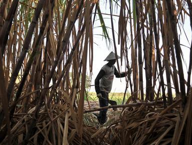 Aktivitas petani tebu di Desa Betet, Pesantren, Kediri, Jatim pada akhir September lalu. Petani tebu menuntut pemerintah segera menghentikan impor gula karena menyebabkan gula lokal tidak laku sehingga merugikan mereka.  (Merdeka.com/Iqbal S. Nugroho)