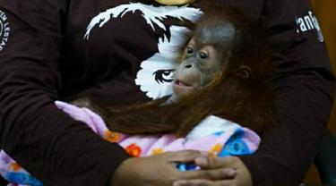 Bayi orangutan digendong petugas BBKSDA Riau setelah gagal diselundupkan dari Kota Dumai tujuan Malaysia.
