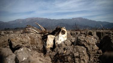 Bangkai sapi terlihat di Danau Aculeo Lagoon yang mengering, Paine, Chile, Jumat (23/8/2019). Menurut Menteri Pertanian Chile Antonio Walker, 2019 adalah salah satu kekeringan terburuk yang dihadapi negara tersebut dalam enam dekade terakhir. (AP Photo/Esteban Felix)