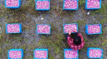 Seorang petani memilah kelopak mawar yang dapat dimakan di Haian, Provinsi Jiangsu, China, Senin (14/5). (AFP)