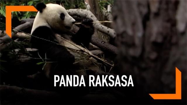 Dua panda raksasa di Kebun Binatang San Diego akan kembali ke China pada akhir bulan April 2019. Hari terakhir untuk melihat kedua panda di kebun binatang tersebut pada 27 April.