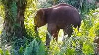 Gajah Sumatra tengah birahi yang mendekati pemukiman di Indragiri Hulu. (Liputan6.com/M Syukur)