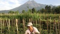 Seorang petani menggarap lahan pertanian di ladangnya dekat Gunung Merapi di Yogyakarta pada Jumat (6/11/2020). saat Badan Geologi Indonesia telah meningkatkan status aktivitas Gunung Merapi menjadi siaga. (Photo by Agung Supriyanto / AFP)