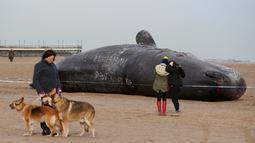 Seekor paus sperma tergeletak di atas pasir setelah terdampar di pantai Skegness, Inggris, Senin (25/1). Menurut media setempat, tiga paus sperma ditemukan mati terdampar pada akhir pekan lalu. (REUTERS / Andrew Yates)