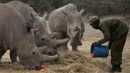 James Mwenda memberi makan tiga badak putih di Ol Pejeta Conservancy, Laikipia, Kenya, Jumat (2/3). Sudan merupakan badak putih jantan terakhir di dunia yang kini berusia 45 tahun. (AP Photo/Sunday Alamba)