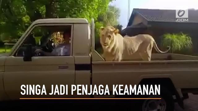 Petani asal Afrika Selatan memilih seekor singa untuk menjaga mereka dari ancaman bahaya.