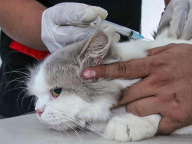 Petugas menyuntikkan vaksin antirabies kepada seekor kucing di Pusat Kesehatan Hewan (Puskeswan) Kota Tangerang, Banten, Rabu (3/3/2021). Sebanyak 500 hewan mendapat vaksin antirabies yang diberikan oleh Pemerintah Kota Tangerang melalui Dinas Ketahanan Pangan. (Liputan6.com/Angga Yuniar)