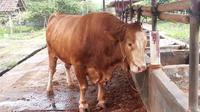 DKPP Tegal menghentikan lalu lintas daging sapi dari Yogyakarta. (Liputan6.com/Fajar Eko Nugroho)