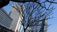 Pohon tak berdaun dan langit tak berawan di salah satu sudut Ibu Kota. Cuaca Jakarta yang tak menentu belakangan ini menjadi ciri masuknya fenomena El-Nino yang membawa musim kemarau panjang.(Antara)