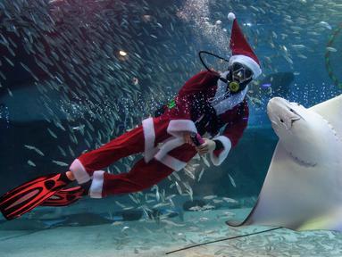 Seorang penyelam berpakaian Sinterklas bermain bersama ikan pari saat tampil dalam pertunjukan bawah laut bertema Natal di Akuarium COEX, Seoul, Korea Selatan, Jumat (7/12). (Ed JONES/AFP)