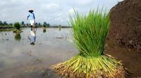 Petani mencabuti bibit padi di lahan persawahan di Desa Tumiyang, Banyumas, Jateng, Jumat (24/9). Sebagian petani di desa tersebut menyemaikan bibit padi sendiri guna memenuhi kebutuhan bibit.(Antara)