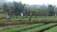 Petani bawang merah Brebes, Jawa Tengah. (Foto: Liputan6.com/Muhamad Ridlo)