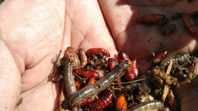 Hama ulat batang menyerang lahan padi milik petani di Garut (Liputan6.com/ Jayadi Supriadin)
