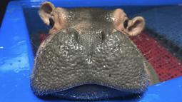 Ekspresi bayi kuda nil saat berendam dikolam di kebun binatang  Cincinnati, Ohio, AS (23/3). Fiona lahir enam minggu lebih awal dari waktunya, awal kelahirannya ia tidak berani berendam di air. (Angela Hatke / Cincinnati Zoo & Botanical Garden via AP)