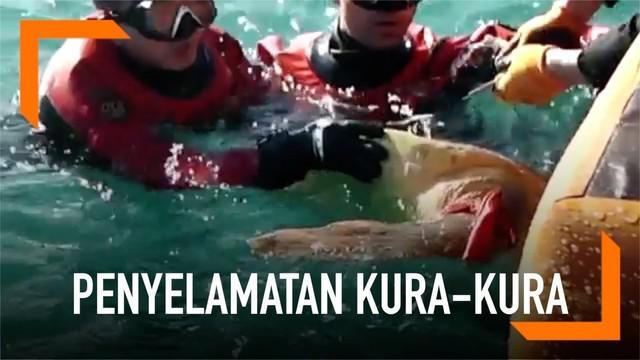 Penjaga pantai menyelamatkan seekor kura-kura tempayan di Pulau Marado, Korea. Sepotong kain melilit kaki kura-kura tempayan saat berenang.