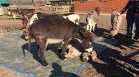 Siapa bilang hewan tidak memiliki perasaan? Sekelompok keledai di Belanda terekam video sedang menangisi seekor keledai lain yang mati. (Sumber Stichting de Ezelshoeve)