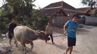 Hampir satu dekade terakhir, warga Garut lebih suka menggunakan kerbau untuk hewan kurban. (Liputan6.com/Jayadi Supriadin)