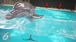 Lumba-lumba melakukan atraksi bernuansa Imlek di Ocean Dream Samudera, Ancol, Jakarta, Rabu (3/2). Sambut Tahun Baru China ke-2567, Ancol menyiapkan sejumlah acara yang berlangsung pada 6-8 Februari. (Liputan6.com/Immanuel Antonius)
