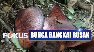 Bunga Raflesia Arnoldi di Hutan Lindung Buven, Bengkulu Utara, dirusak orang tak bertanggung jawab.