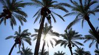 Pekerja Palestina menaiki pohon kurma saat akan memanen buahnya di perkebunan Al Zawayda, Jalur Gaza, Selasa (10/10). Hasil dari perkebunan ini digunakan memenuhi kebutuhan hidup warga di tengah perebutan wilayah perbatasan oleh Israel. (AP/Adel Hana)