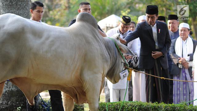 Wujud Sapi Braman 1,4 Ton Kurban Jokowi di Cibinong
