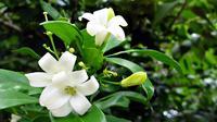 Bunga melati atau Jasminum Sambac Air ini, ternyata kerap sekali dijadikan bumbu tambahan dalam meracik teh herbal.