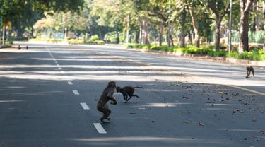 Sejumlah ekor monyet berlarian di tengah jalan raya selama lockdown nasional di New Delhi, India (2/4/2020). Aturan lockdown yang diberlakukan pemerintah India untuk pencegahan penyebaran wabah pandemi virus corona membuat lalu lintas di Kota New Delhi sepi aktivitas kendaraan. (AFP/Jewel Samad)