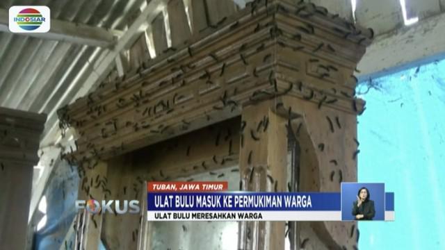 Serangan ulat bulu di Tuban, Jawa Timur, meluas hingga ke dalam rumah.