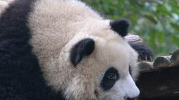 Seekor panda raksasa terlihat di Pusat Penelitian dan Penangkaran Panda Raksasa Chengdu dalam sebuah acara peringatan Hari Panda Internasional di Chengdu, Provinsi Sichuan, China barat daya, pada 27 Oktober 2020. (Xinhua/Chen Juwei)